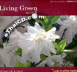 Living Green : Lady in White Azalea